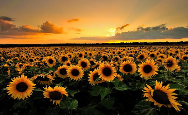 sunflower_harvest